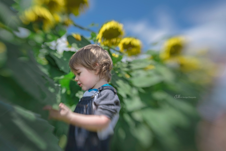 patrick sunflowers 2 wm
