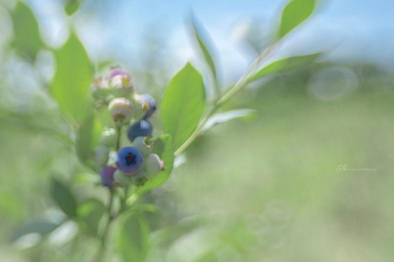 berry blue wm