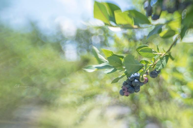 blueberries wm