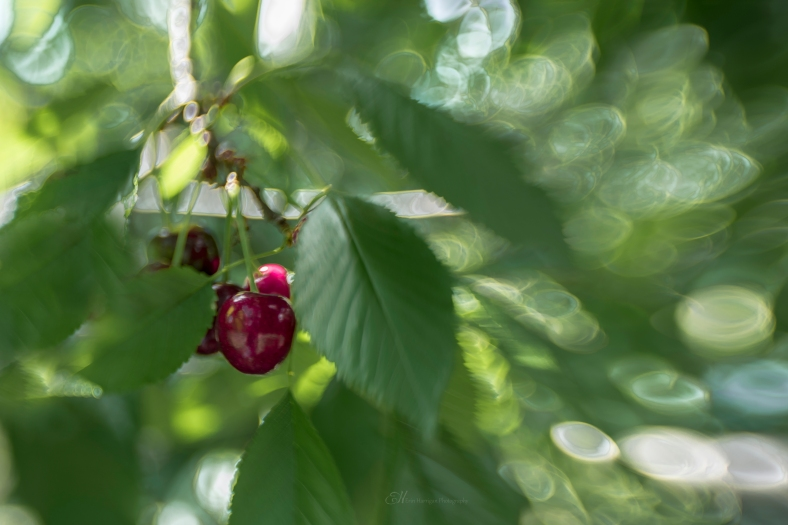 cherry cluster wm