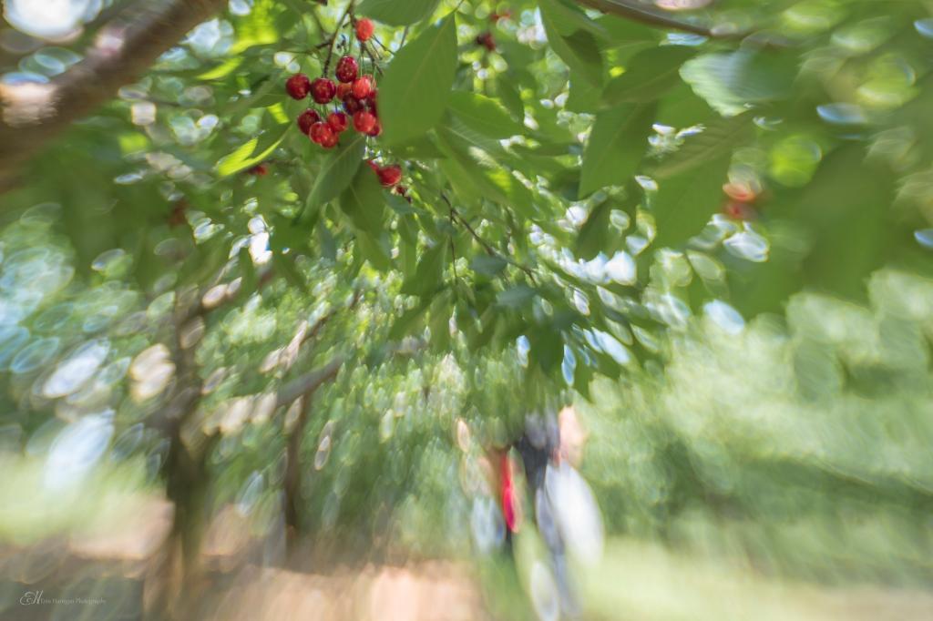 cherry pickin wm