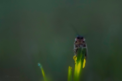lightning bug grass final