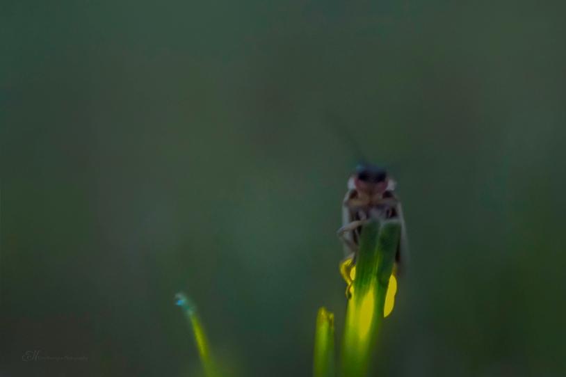lightning bug grass final