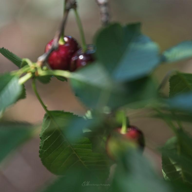 square cherries wm