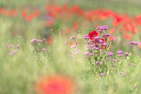 wildflowers 5