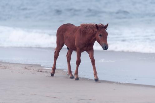 baby beach horse