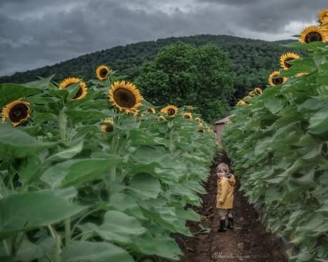 patrick sunflowers B